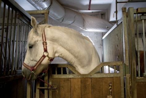 New York City carriage horse in cramped stall. Google image.