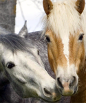 Two Belgian horses close up.