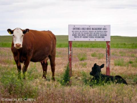 Cow and calf next to Mustang Herd Management Area sign. Image by Kimerlee Curyl.