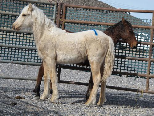Wild horses rounded up by the BLM up for adoption in Eureka earlier this year. BLM image.