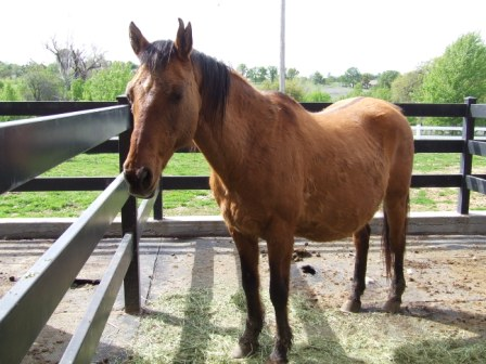 Malibu the rescued Premarin Mare when she arrived (view 1). Source Photo.