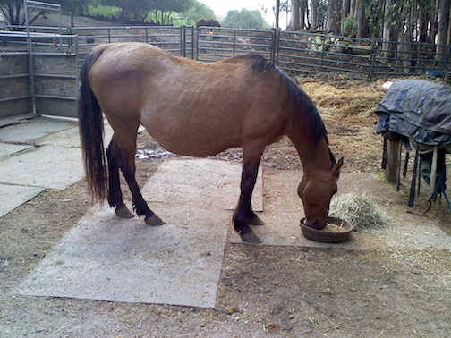 Malibu the rescued Premarin Mare when she arrived (view 2). Source Photo.
