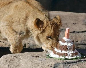 A zoo lion receives a birthday cake made of 10 pounds of horse meat. Google image.