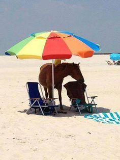 Corolla wild horses enjoys the shade of a beach umbrella. Google image.