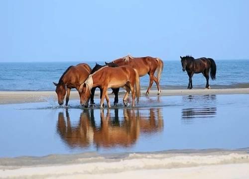 Corolla wild horses. Google image.