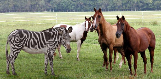Horses and a Zebra