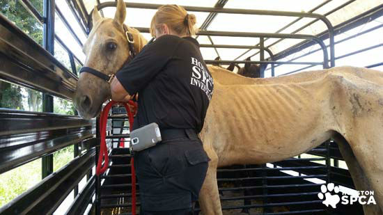 The Houston SPCA is working to rehabilitate more than 200 horses after their owners were arrested on livestock cruelty charges. KTRK image.