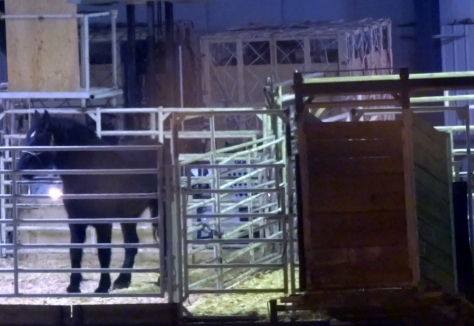 Ambassador awaits transport by air to Japan for slaughter. Please sign this Petition in memory of Ambassador and all horses who have suffered this cruel fate. Image: CHDC.