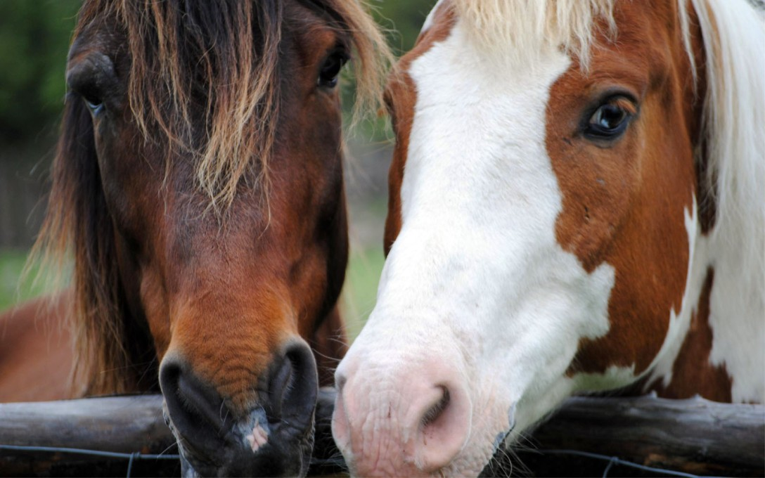 Two horses side by side facial portrait.