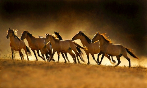Saylor Creek Wild Horses. Google image.
