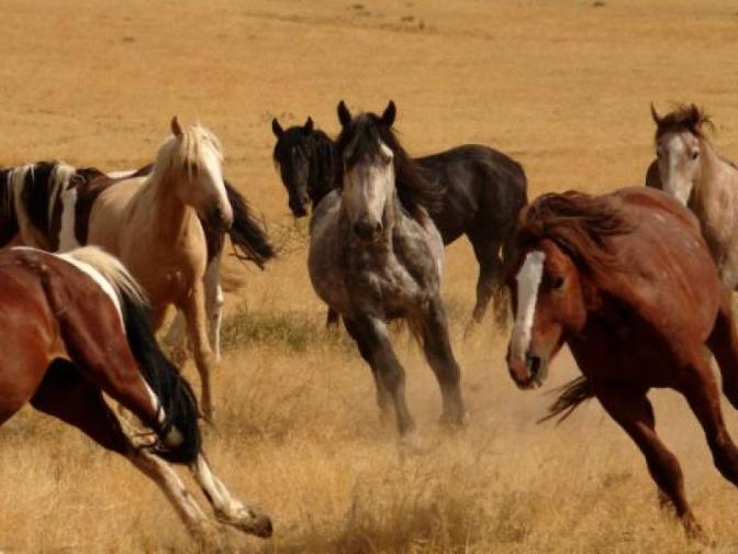 Saylor Creek wild horses. AWHPC image.