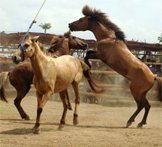Sign Petition asking Philippine President Aquino to End Organized Horse Fighting