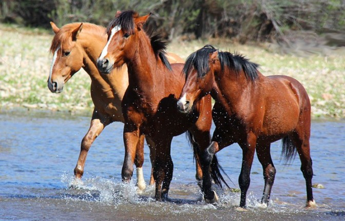 Respect 4 Horses/Courtesy of the Salt River Wild Horse Management Group