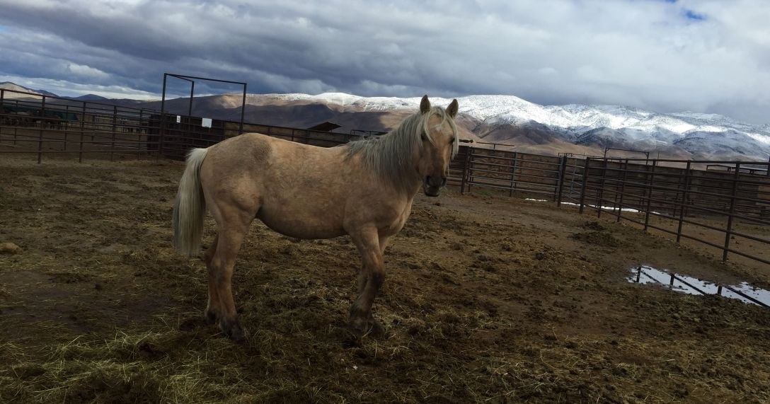 Sarge, a Mustang Stallion from the Palomino Valley herd area was purchased by nearly $15,000 in a BLM conducted online auction. He will be returned to freedom in a wild horse sanctuary.