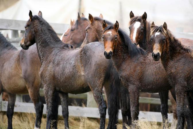 Kaimanawa wild horses. http://kaimanawahorses.neocities.org/