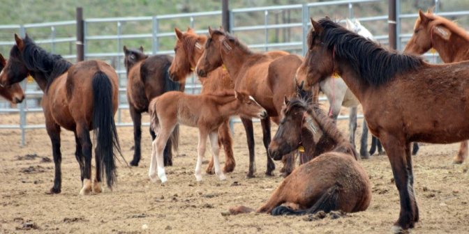 wild_mare_and_foals_tcf