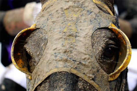 Racehorse muddied up on Preakness Day 2016, Pimlico Racecourse. Photo Credit: Rob Carr / Getty Images.