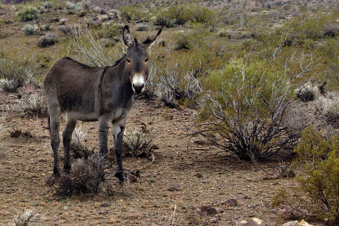 Some of Oatman's burros survive without handouts, living wild out in the desert. This burro stopped by the side of the road to drink rainwater from a puddle near Oatman, Ariz., on Jan. 27, 2013. (Photograph by Susan E. Swanberg)