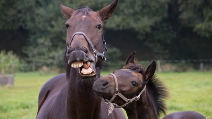 Horse smiling? Source: Vocativ.