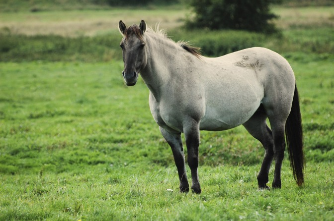 Pregnant mare. Google search result credited to Thinkstock.