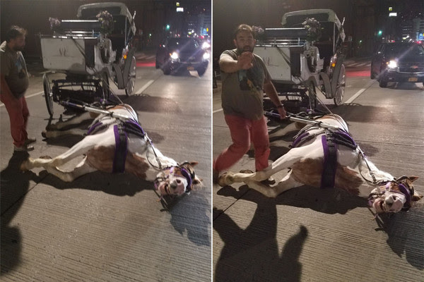 Collapsed carriage horse in New York City 2nd September 2016.
