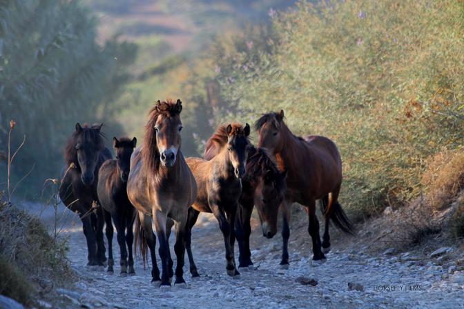 Skyros Island Ponies. Image by Horsefly Films via the Skyros Island Horse Trust.