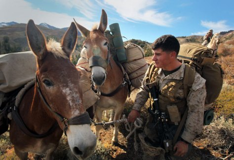 Mules at war. US Marine Corps training center.