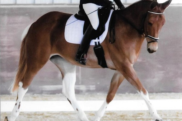 First mule ever makes it to the US Dressage Finals.