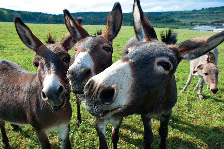 Mules. Image from Grit.com. See http://www.grit.com/animals/donkeys-and-mules-zm0Mules. Image from Grit.com. See http://www.grit.com/animals/donkeys-and-mules-zm0z12jfznem.z12jfznem.