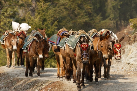 Pack mules of the Himalayas.