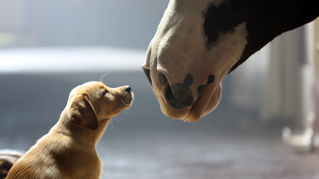 featured_super_bowl_pup_horse
