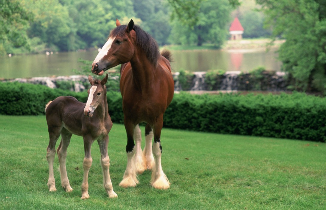 clydesdale_mare_foal