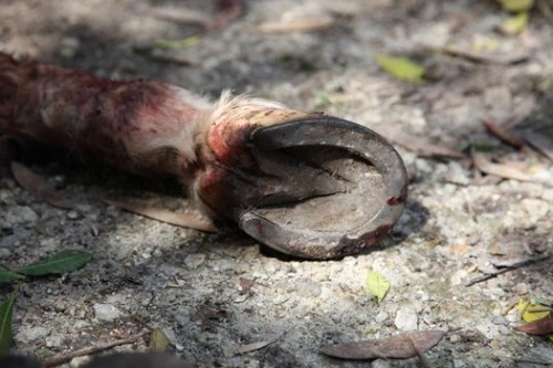Hoof from the remains of dead horse caught up in the illegal meat trade. Photographer unknown.