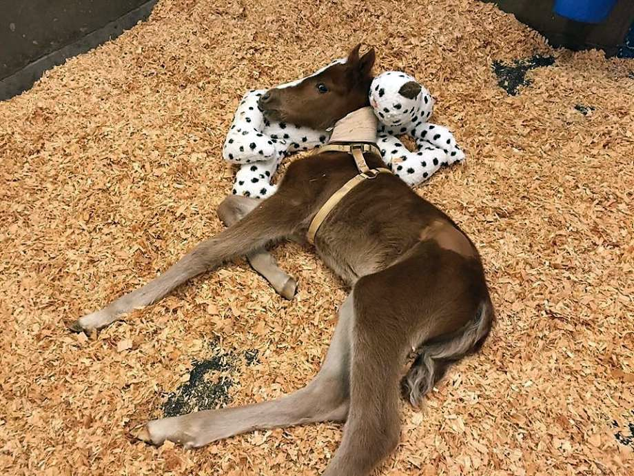 Foal rescued by Fremont Police Department on Valentine's Day, 2016. Photo: Fremont Police Dept.