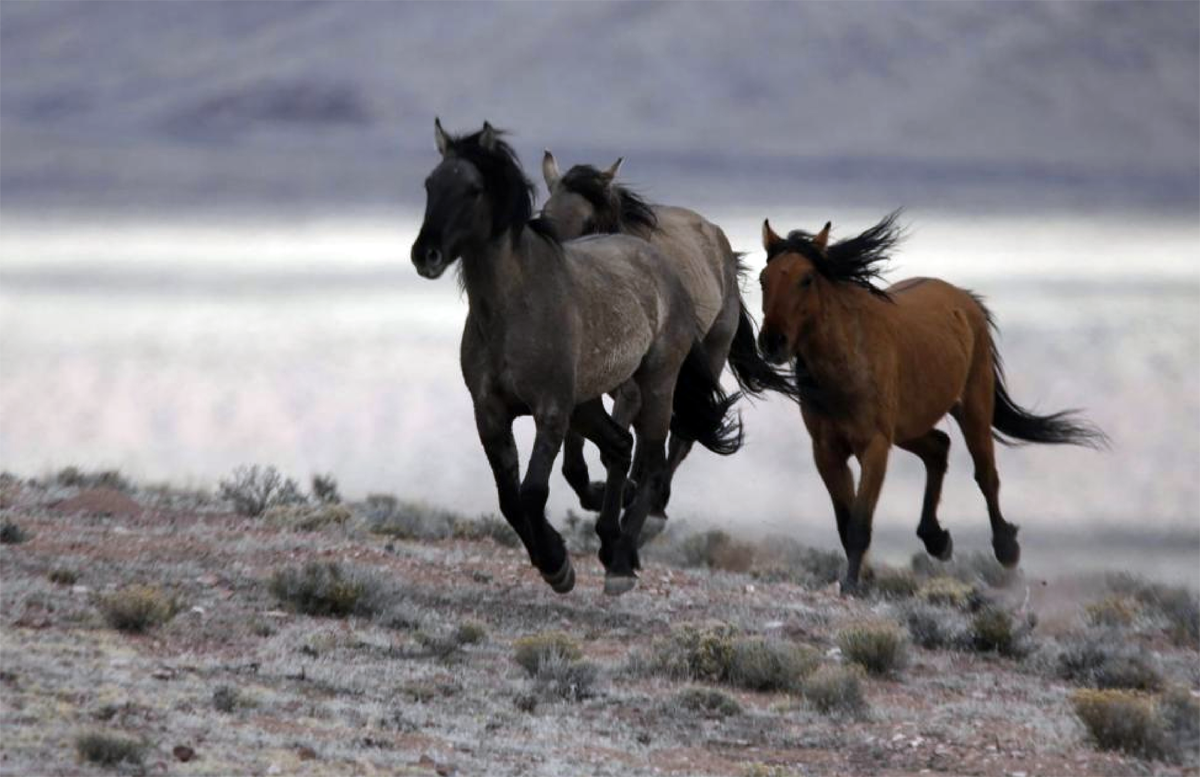 Utah lawmakers seek State management of its wild horses ...