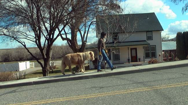 Fred the service horse may be taken away from the cancer patient who needs him if Benton City officials have their way. The miniature horse's crime? He is living in the man's backyard. Image: KVEW-TV.