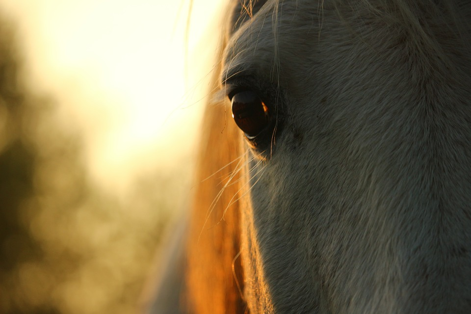 Horse close up. Pixabay.