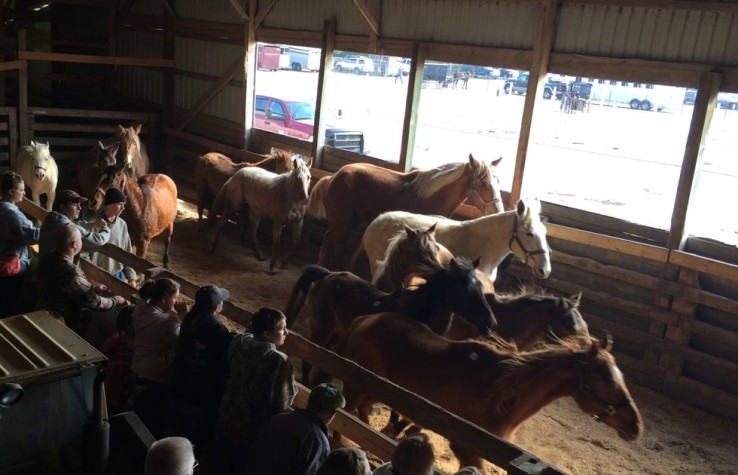 Horses before the auction at Shipshewana. These were racing, riding, and show horses. But the slaughterhouse buyers were there to bid on the least expensive horses. Source: Animal Angels.