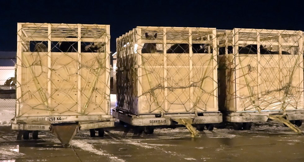 According to Freedom of Information Act (FOIA) documents obtained by the CHDC and provided to VICE, the Canadian Food Inspection Agency (CFIA) banned shipping draft horses—a breed that can weigh more than a thousand pounds. Canadian Horse Defence Coalition image.