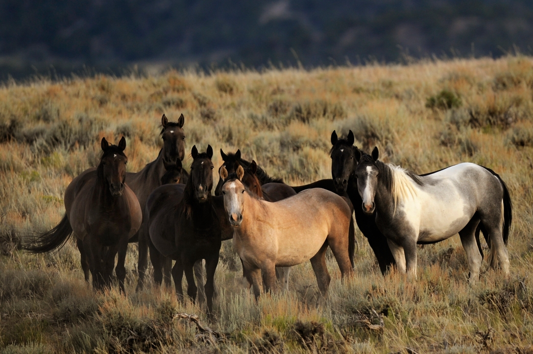 Wild horses wander in the Sand Wash herd management area 45 miles west of Craig, Colo., in the Sand Wash Basin. Joe Amon, The Denver Post.