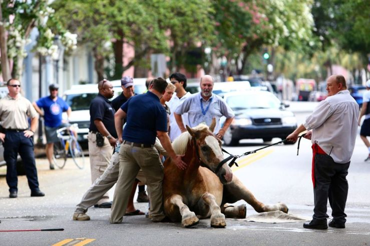 July 2015. A 12 year old carriage horse named Blondie falls on a busy downtown Charleston street after a truck spooked him. He did not collapse from the heat asoriginally thought although it was already 84 degrees at 10 a.m. There were nine adults and a child on the carriage when the incident occurred. Blondie's accident left him on the pavement for nearly two hours before a crane was finally pull him to a standing position. Source: Post and Courier.