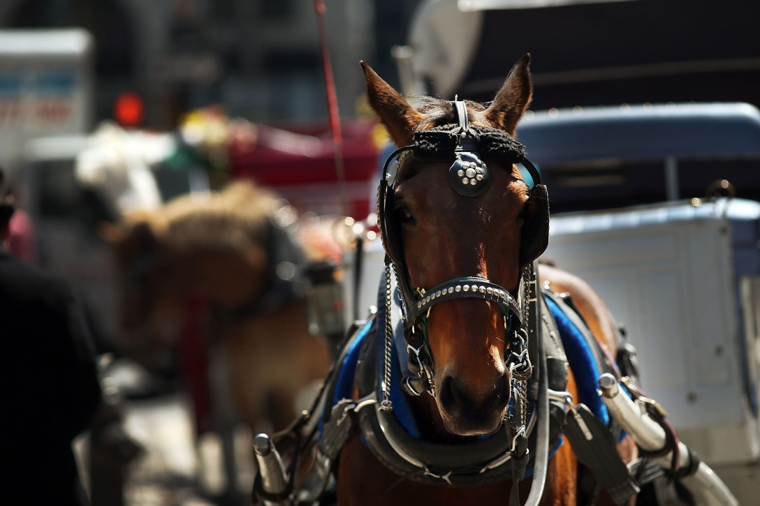 NEW YORK, NY - APRIL 21: A carriage horse trots near Central Park on April 21, 2014 in New York City. New York Mayor Bill de Blasio, a Democrat, made a campaign pledge to ban carriages in Central Park. As the horse carriage industry, which mainly takes tourists through the park, has come under criticism from animal welfare agencies, many New Yorkers are voicing their support for the horses and drivers. On Saturday animal welfare activists protested in front of actor Liam Neeson's home after he wrote a newspaper piece in support of the carriage horses. (Photo by Spencer Platt/Getty Images)