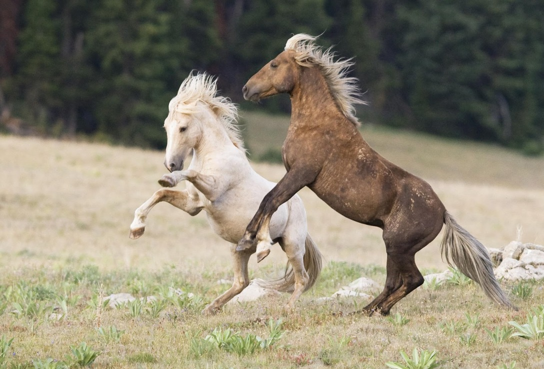 Pryor Mountain wild horses. Google search result. Unattributed image.