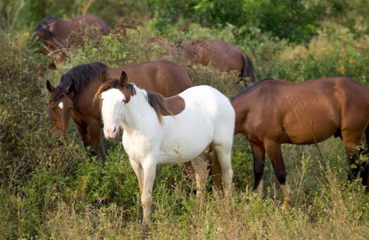 "Abaco horses were either roans or blue-eyed ""splash white"" pintos. © ARND BRONKHORST."