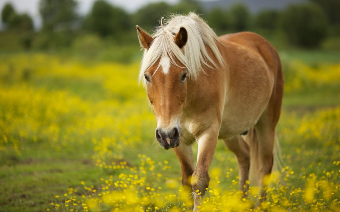 Horse in field of yellow flowers. Google search result. Photographer not credited..