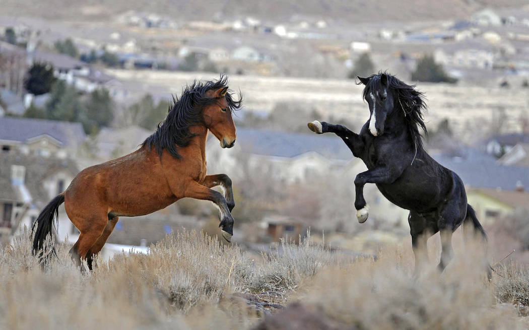 Nevada Wild Horses. Las Vegas Review-Journal.
