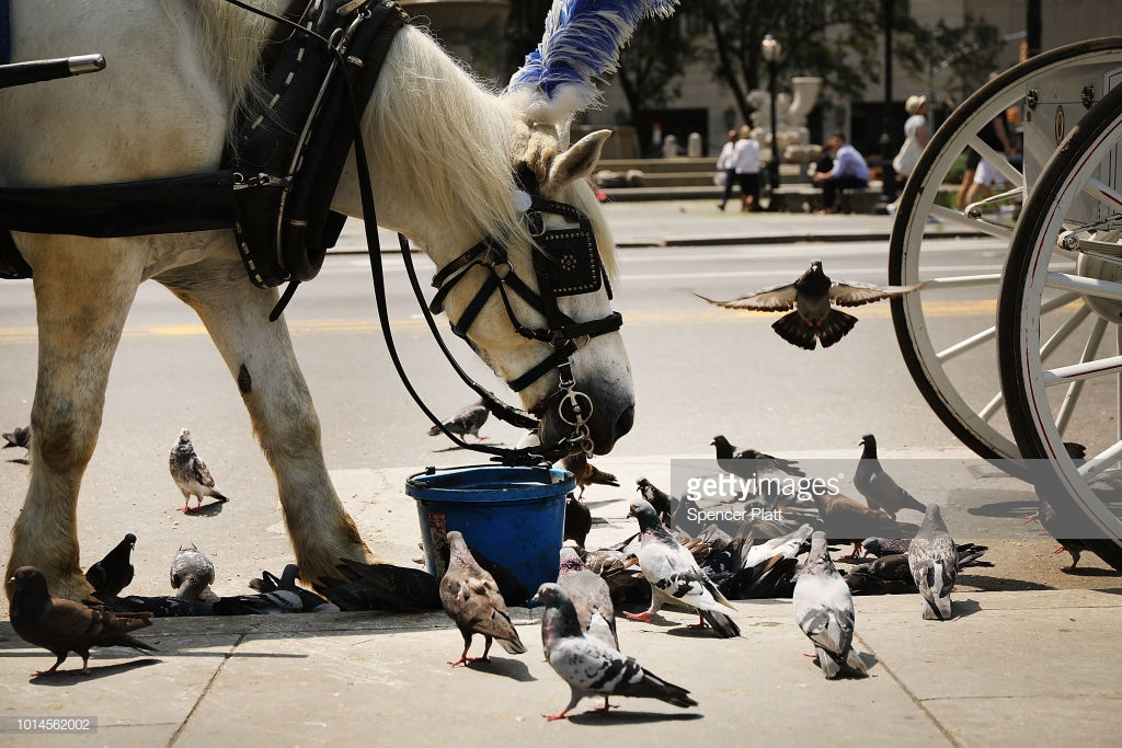 NEW YORK, NY - AUGUST 10: A carriage horse eats by Central Park moments before all drivers were ordered to return to the stables due to heat on August 10, 2018 in New York City. According to New York City administrative code, all carriage horses used in tourism must immediately stop working and return to their stables when the temperature reaches 90 degrees. Animal rights activists, who want to permanently end the carriage horse business in the city, say many drivers ignore the law or linger in the park looking for customers long after an alert has been issued. (Photo by Spencer Platt/Getty Images)