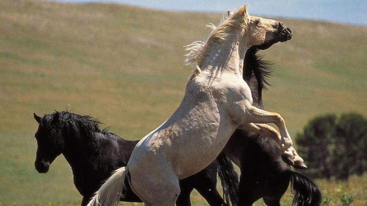 Cloud the Stallion. Image: PBS.