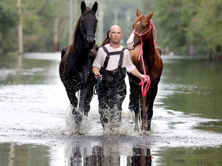 Hurricane Cowboy leads two abandoned horses from the floodwaters in the wake of Hurricane Florence. Photo by Janet Morgan/Myrtle Beach Herald