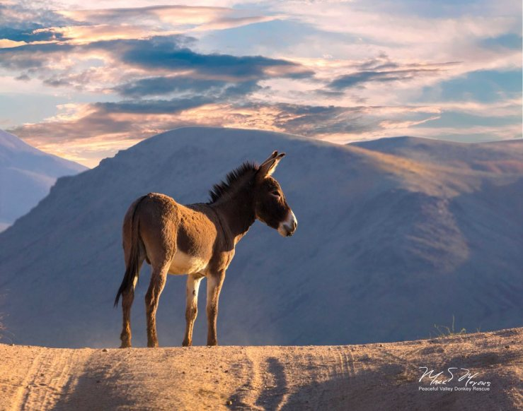 A donkey looks out across Death Valley PHOTO COURTESY OF MARK MEYERS.